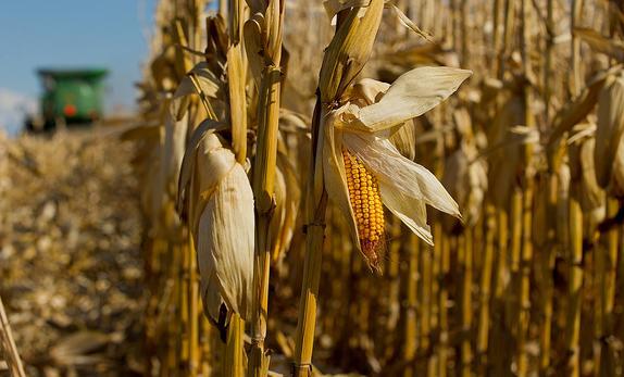 Odmiany_kukurydzy
