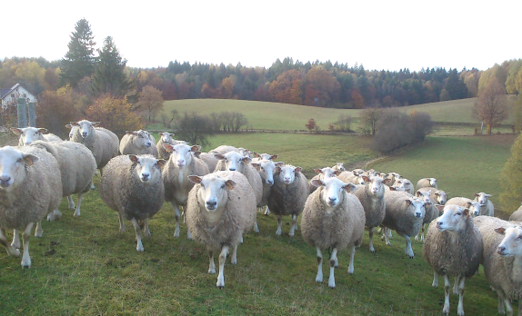 Owce pomorskie Państwa Kłopotek na pastwisku. Fot. A. Jereczek