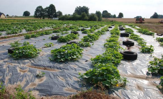 Regulacja zachwaszczenia poprzez 1.ściółkowanie folią warzyw w gospodarstwie ekologicznym w powiecie kartuskim. Fot. A. Jereczek 2015