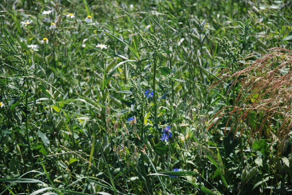 Chwasty w uprawie łubinu ekologicznego. Fot. A. Jereczek, 2015
