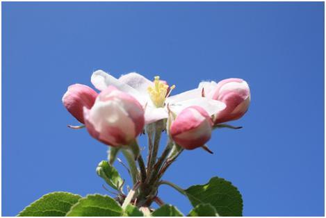 Pojedyncze grono składające się z 6-7 kwiatków jabłoni wyrastające z jednego tzw. pąka królewskiego.