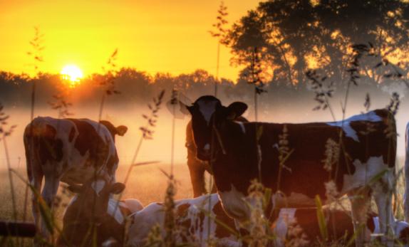 hodowca ma duże możliwości ograniczania stresu cieplnego krów wysokomlecznych poprzez prawidłowe żywienie oraz właściwą technikę i organizację zadawania pasz.