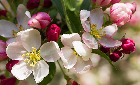 przerzedzanie_kwiatu_jabloni