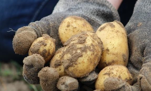Ziemniaki_stan_perspektywa
