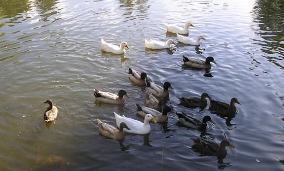 Pasza powinna być zabezpieczona przed kontaktem z dzikim ptactwem.