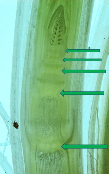 Fot.13 Strzałki pokazują węzły z komórkami merystematycznymi. W merystemach następują mitotyczne podziały komórkowe stymulowane przez hormony głównie cytokininy.