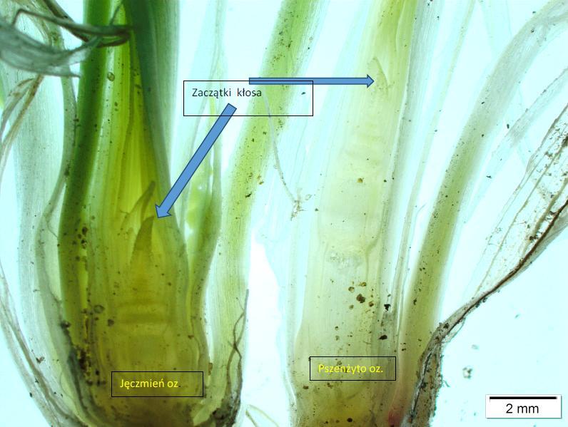 Fot. 16 . Jęczmień i pszenżyto wysiano w tym samym terminie. Wydłużanie międzywęźli jest mniej intensywne u jęczmienia niż u pszenżyta. 24.04.2017 r.