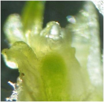 Fot. 2 Merystem kwiatostanowy widoczne początkowe zmiany morfologiczne. Fot. M. Anioła