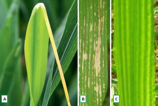 Fot. 1 Objawy niedoboru mikroelementów (A-miedzi, B-manganu, C-cynku) na blaszce liściowej zbóż